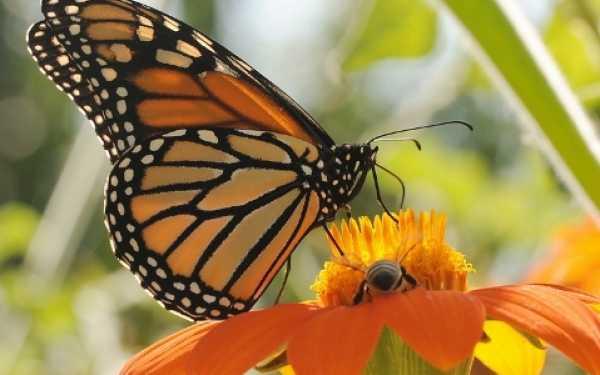 Mariposa Sol Naciente