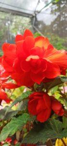 Begonia Holandesa